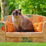 Koty brytyjskie i charakterystyka ich rasy.