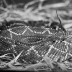 Kobra Królewska. Jadowity wąż w domowym terrarium?