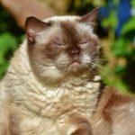 Jaka waga jest odpowiednia dla kota brytyjskiego? Żywienie kota brytyjskiego, waga