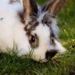 Królik kalifornijski. Skąd wywodzi się nazwa królików rasy kalifornijskiej?