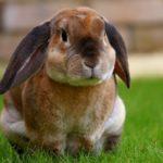 Królik nowozelandzki czerwony hodowla. Co cechuje królika nowozelandzkiego czerwonego?