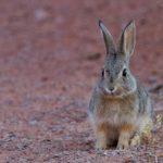 Dlaczego królik tupie? Mowa ciała królików.