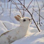 Wykot królików zimą. Jak hodować króliki? Wybieg hodowli królików