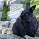 Olbrzym belgijski czarny. Charakterystyka olbrzyma belgijskiego czarnego.