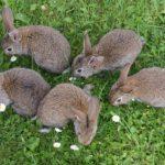 Czy rozmnażać swojego królika miniaturkę? Rozmnażanie królików miniaturek