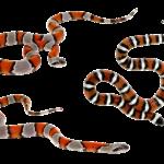 Wąż koralowy. Hodowla węży w terrarium