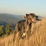 Jak skutecznie nauczyć psa sztuki aportowania? Nauka aportowania psa