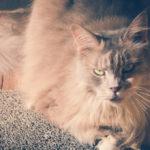Największe koty domowe – czyli koci giganci