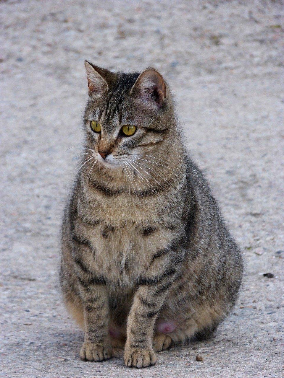 Ciężarna kotka, co warto wiedzieć?