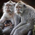 Ciekawostki o małpach – 60 ciekawostek o małpach.