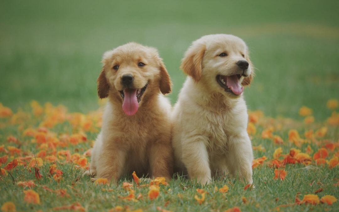 Jak nauczyć psa komend i posłuszeństwa, podstawowe szkolenie psów