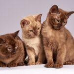 Najpopularniejsze rasy kotów.